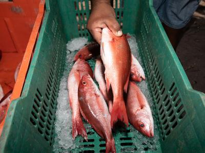 fish in box with ice
